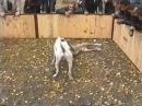 Dogo vs pitbull