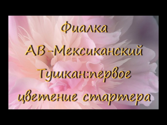 Фиалка (сенполия) АВ-Мексиканский Тушканпервое цветение стартера