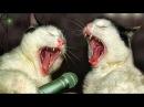 КОТЫ ПОЮТ ДЕСПАСИТО. Кошки поют деспасито. Поющие коты смешное видео 2018