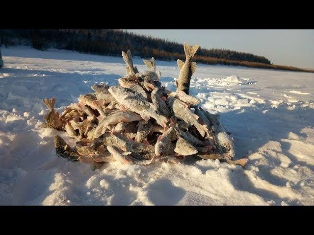 Итоги жор окуня на протоке в глухозимье !! Якутия Yakutia