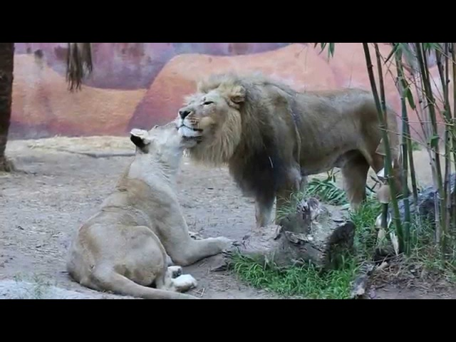 Lions Showing Affection and Kissing Each Other @LA Zoo HD