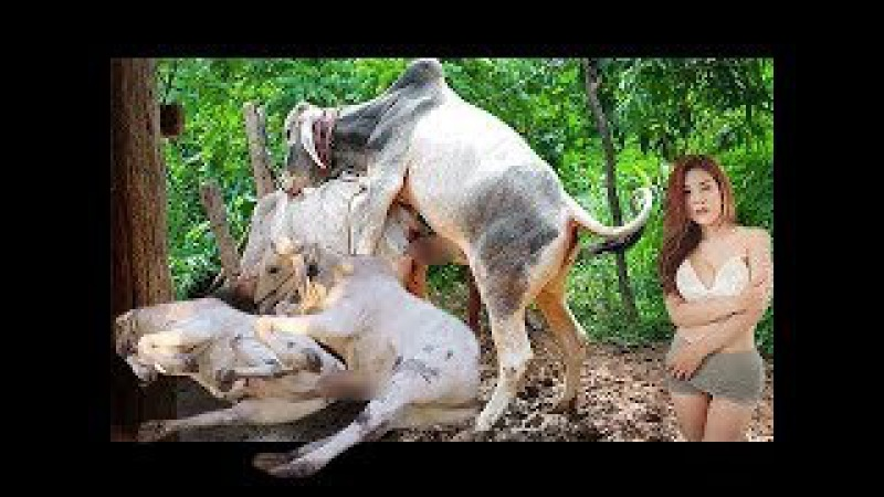 Wow! Amazing Man Breed Cows - How to breds cows in my Country - របៀបបង្កាត់ពូជគោបា