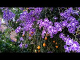 Duranta erecta blue - Purple flowers and orange berry - Geisha Girl goldy green - HD 06
