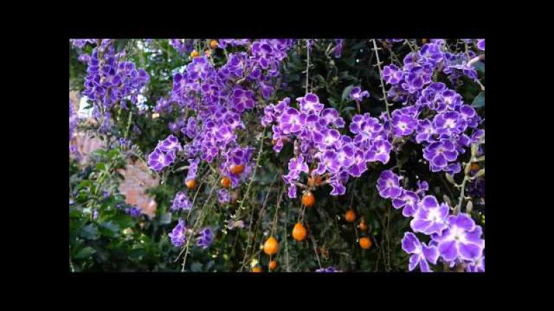 Duranta erecta blue - Purple flowers and orange berry - Geisha Girl goldy green - HD 06