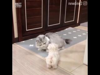 Кот шаман