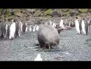 Морж насилует пингвина (ЗА ЩОООООООО)