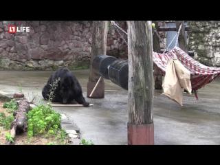Обед гималайских медведей в Московском зоопарке