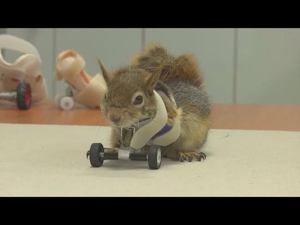 Squirrel gets prosthetic wheels after losing limbs in a trap