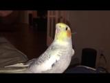 Попугай исполняет мелодию из айфона, когда расстраивается