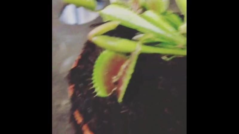 Дионея венерина мухоловка хищник в действии 🌿😱😈