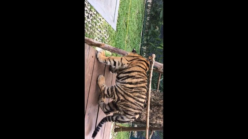Тигр паттайя 3