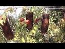Помидоры вверх тормашками в баклажках 7 недель после высадки