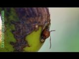 Непентес - плотоядное растение хищник