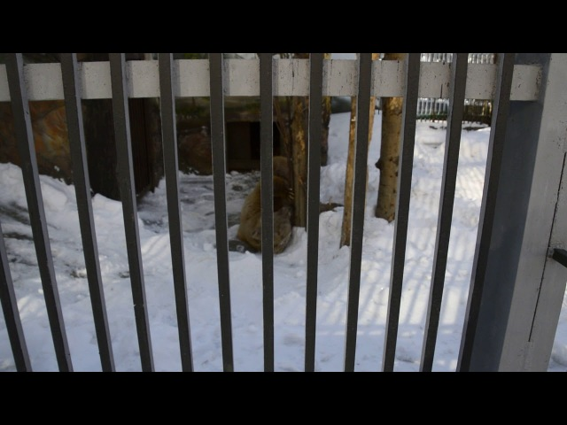 В Екатеринбургском зоопарке медведи вышли из спячки