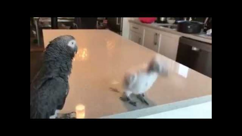Baby Parrot Dance To Bob Marley 😍❤