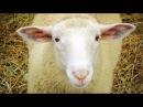 Особенности ухода за мясной породой овец