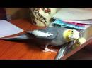 Как поет попугай корелла