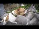 Питбуль напал на собаку Не для слабонервных Питбультерьер против маламута и хаски