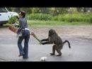 القردة المشاغبون. تجميعة لأحسن المقاطع ال16