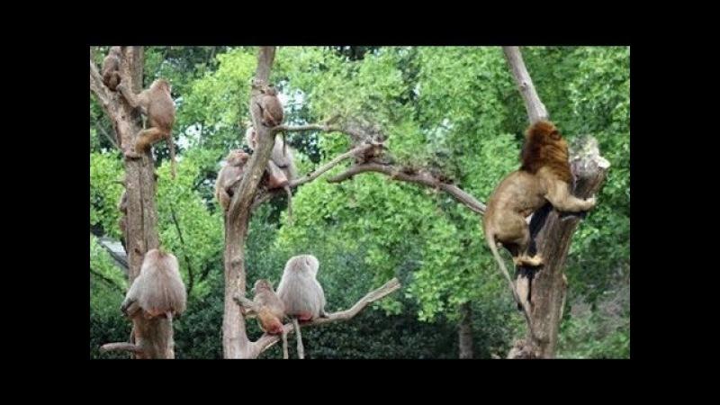 5 Sư Tử Đại chiến 20 Trâu Rừng - Khỉ đầu tẩu thoát ngoạn mục Sư Tử| Lion Vs Baboon