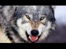 новыйФильм о дикой природе Жизнь волков.