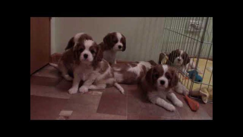 Puppies Cavalier King Charles Spaniel/ Щенки Кавалер Кинг Чарльз Спаниель