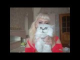 Песридские шиншиллы   семейство - кошка, кот и детки