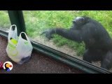 SMART Chimp Asks Zoo Visitors For Drink The Dodo