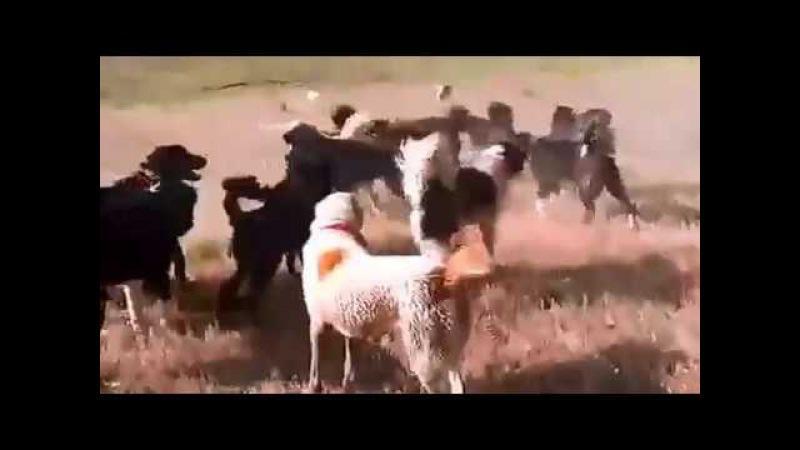 Caini ciobanesti foarte multi si agresivi video 2017