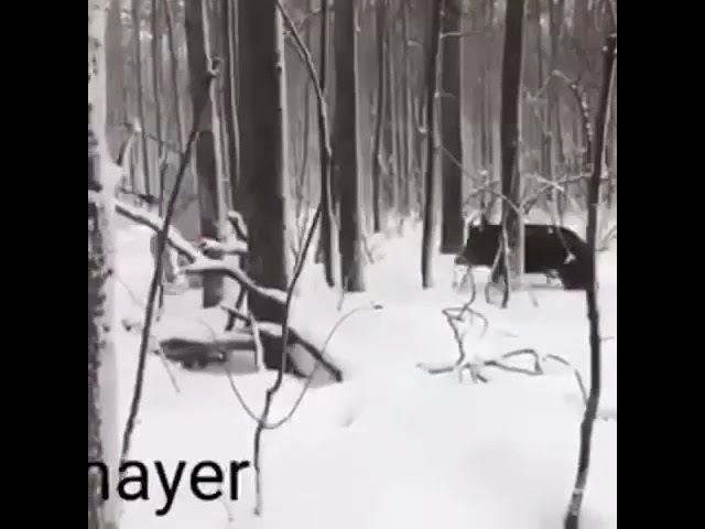 Дикий Кабан крадется за охотником Колей
