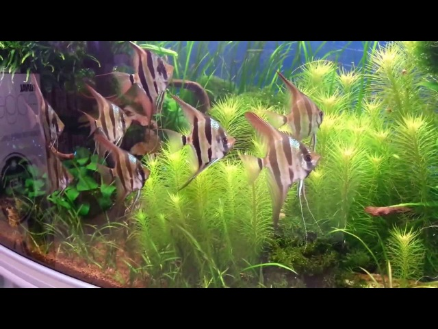 Just a planted aquarium with Pterophyllum von Oliver Knott Aquarium Einrichtung