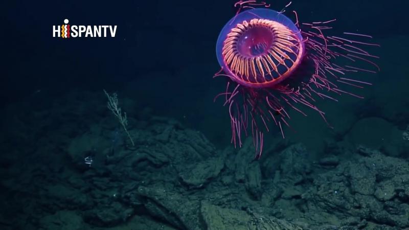 Hallan un animal 'extraterrestre' en profundidad del agua
