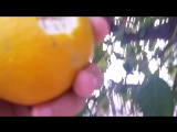 Апельсин сорвал)