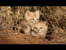 Первое в мире видео неуловимых барханных котят в их естественной среде обитания