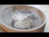 Epic Chinchilla Dust Bath in 4k Ultra High Definition!