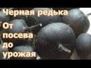 Черная редька От посева до урожая
