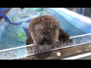 Bottle feeding and a swim for rescued sea otter pup