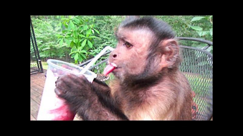 Monkey LOVES Smoothie! Fresh BlackBerry StrawBerry!