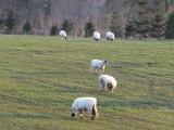 67. Ветряной генератор и бараны в Бродвее, Англия. Windmill and sheeps in Broadway, England