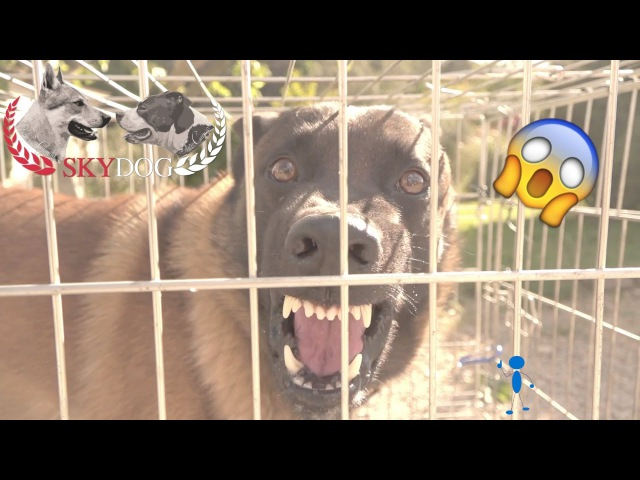MALINOIS AGRESSIF INAPPROCHABLE 1080 HD