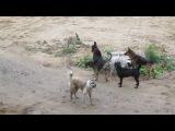 ძაღლების ჩხუბი - როგორ არჩევენ ძაღლები საქ&#4