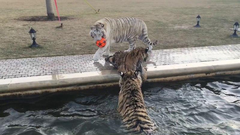 Прогулки тигров. Сила, мощь, грация и любовь ❤️