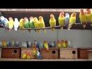 Породы домашних попугаев