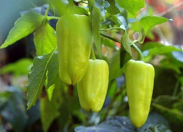 5 самых урожайных перцев для фарширования.