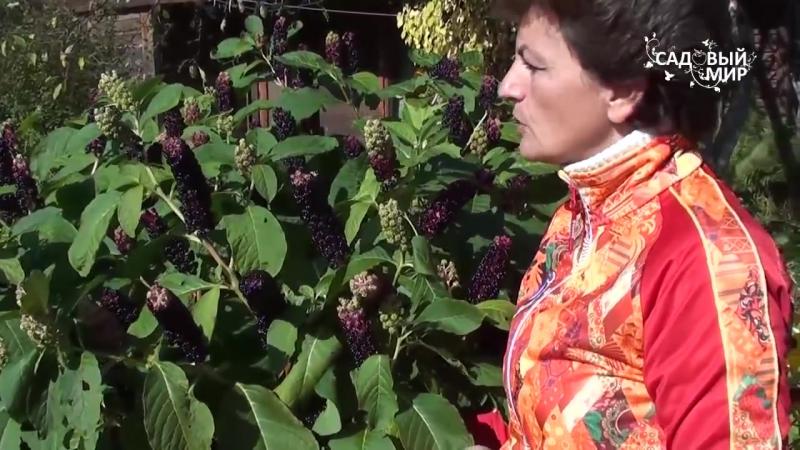 """Неприхотливые растения для сада Лаконос или Фитолакка. Сайт """"Садовый мир"""""""
