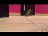 Попугай ходит по полу и смеётся злодейским голосом 😎