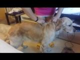 Как сделать укол подкожно собаке, в холку
