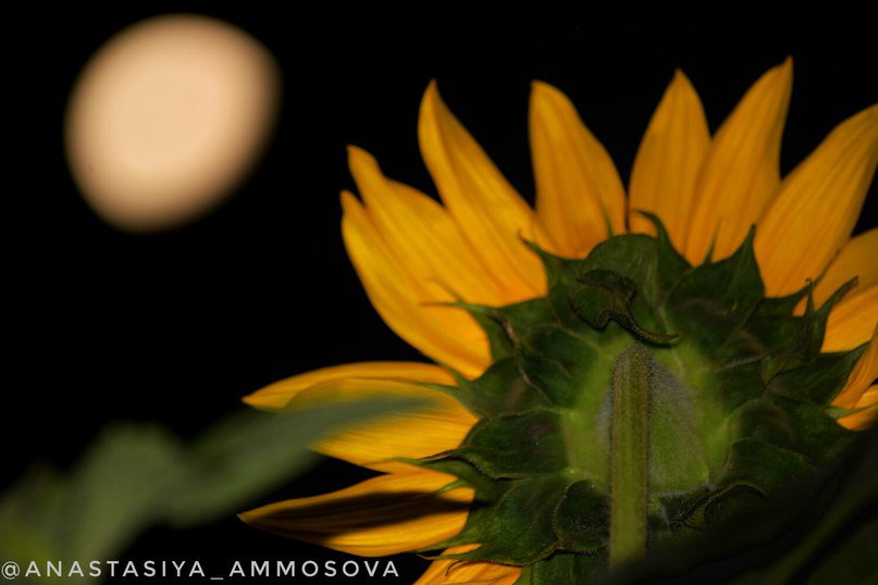 Анастасия Аммосова  