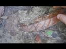 Андаманский дождевой червь имитирует движения змей