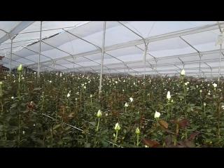Немного белого цветка на плантации роз в Эквадоре